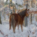 Cal semi-salbatic iarna prin padure