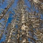 Copaci uscati iarna