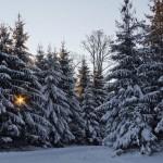 Soare printre brazi - iarna