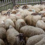 """""""Măsuratul oilor"""" la Rudăria, în Banatul Montan - 2019"""