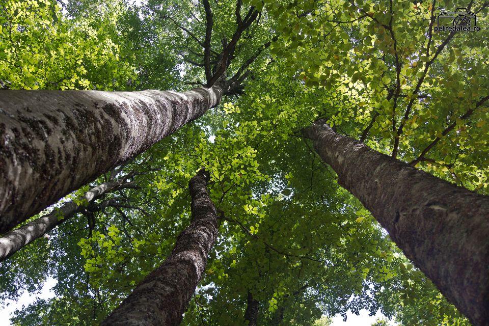 păduri de fag Forumul Pădurilor
